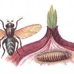 луковая муха 2