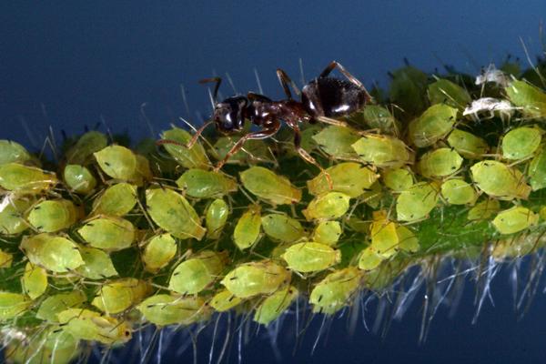 муравей 1